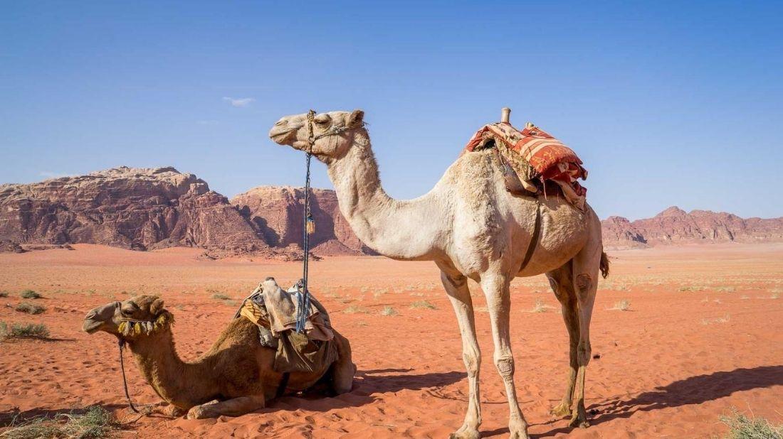 Camellos, Jordania